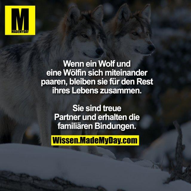 Wenn ein Wolf und eine Wölfin<br /> sich miteinander paaren, bleiben<br /> sie für den Rest ihres Lebens<br /> zusammen. Sie sind treue<br /> Partner und erhalten die<br /> familiären Bindungen.