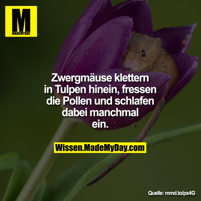 Zwergmäuse klettern in Tulpen<br /> hinein, fressen die Pollen und<br /> schlafen dabei manchmal ein.