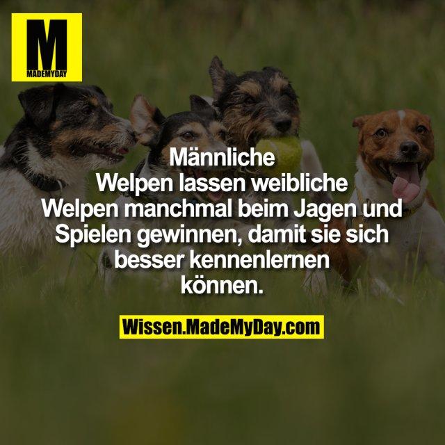 Männliche Welpen lassen<br /> weibliche Welpen manchmal<br /> beim Jagen und Spielen<br /> gewinnen, damit sie sich besser<br /> kennenlernen können.