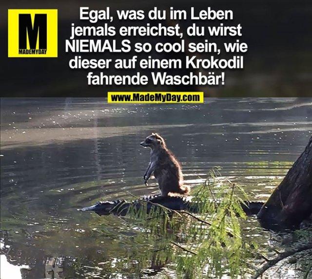 Egal, was du im Leben jemals erreichst, du wirst NIEMALS so cool sein, wie dieser auf einem Krokodil fahrende Waschbär!