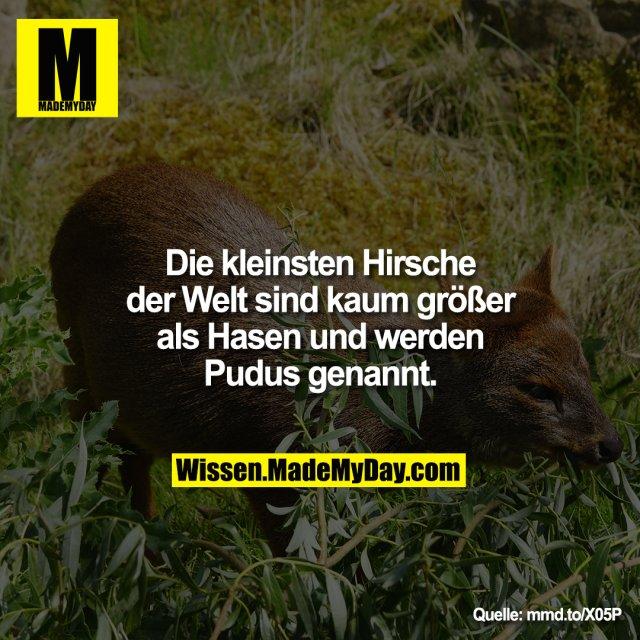 Die kleinsten Hirsche der Welt sind kaum größer als Hasen und werden Pudus genannt.<br /> <br /> mmd.to/X05P