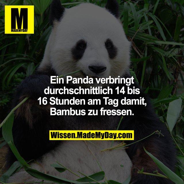 Ein Panda verbringt durchschnittlich 14 bis 16 Stunden am Tag damit, Bambus zu fressen.