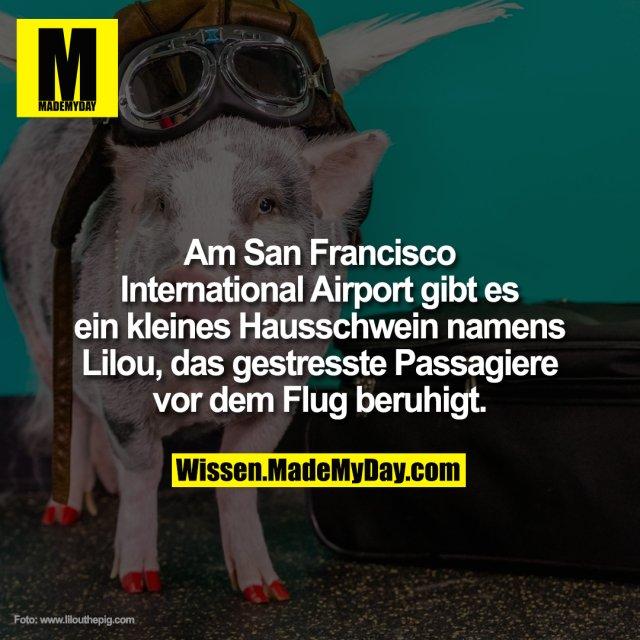 Am San Francisco International Airport gibt es ein kleines Hausschwein namens Lilou, das gestresste Passagiere vor dem Flug beruhigt.
