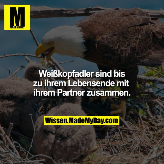 Weißkopfadler sind bis zu ihrem Lebensende mit ihrem Partner zusammen.