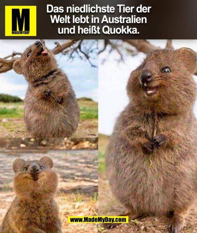 Das niedlichste Tier der Welt lebt in Australien und heißt Quokka. (BILD)