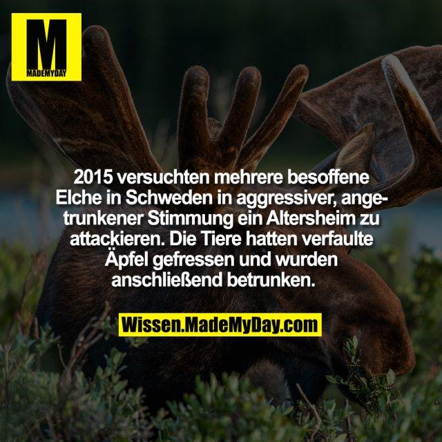 2015 versuchten mehrere besoffene Elche in Schweden in aggressiver, angetrunkener Stimmung ein Altersheim zu attackieren. Die Tiere hatten verfaulte Äpfel gefressen und wurden anschließend betrunken.