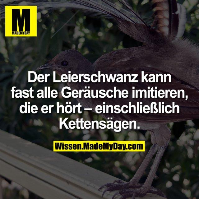 Der Leierschwanz kann fast alle Geräusche imitieren, die er hört – einschließlich Kettensägen.