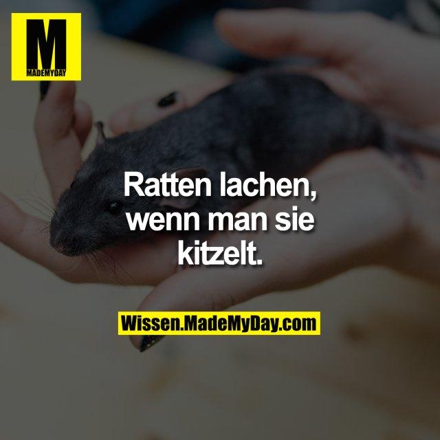 Ratten lachen, wenn man sie kitzelt.