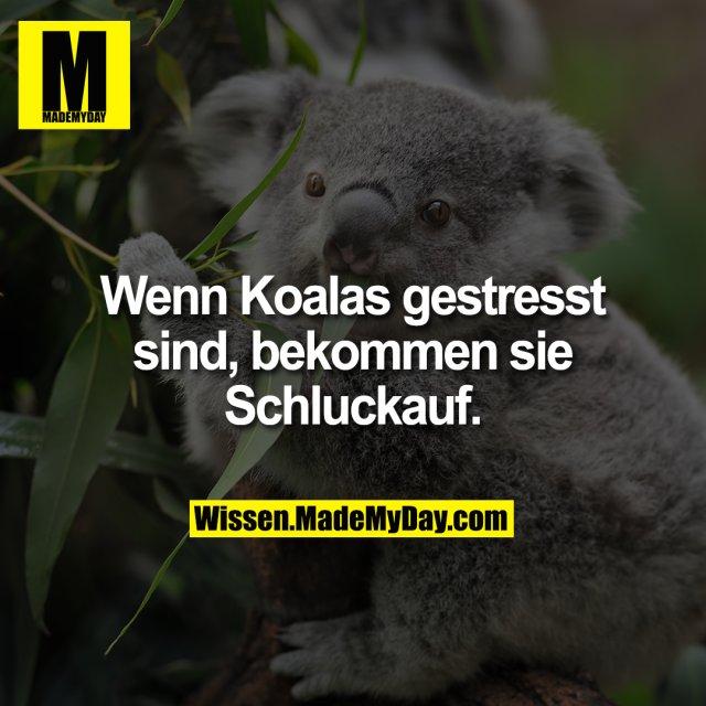 Wenn Koalas gestresst sind, bekommen sie Schluckauf.