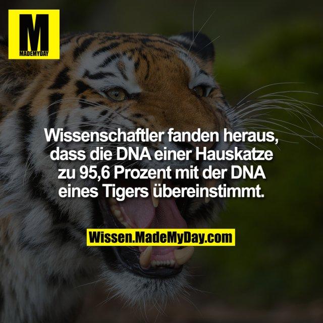 Wissenschaftler fanden heraus, dass die DNA einer Hauskatze zu 95,6 Prozent mit der DNA eines Tigers übereinstimmt.